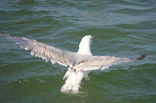 Gull, Water, Swim, Flutter, Bird, Seagull, Birds, Sea