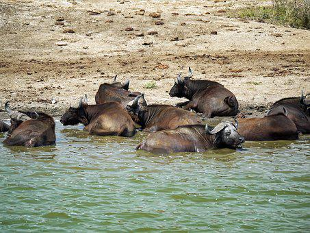 Buffalo, Swim, Doze, Uganda, Watering Hole, Animals