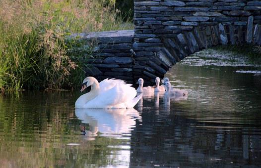 Swan, Mute Swan, Cygnus Olor, Chicks, Water Bird, White
