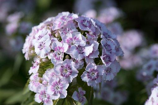 Sweet William, Carnation, Dianthus, Pink, White