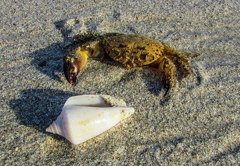 Crab, Animal, Crustacean, Shell, Nature, Wildlife