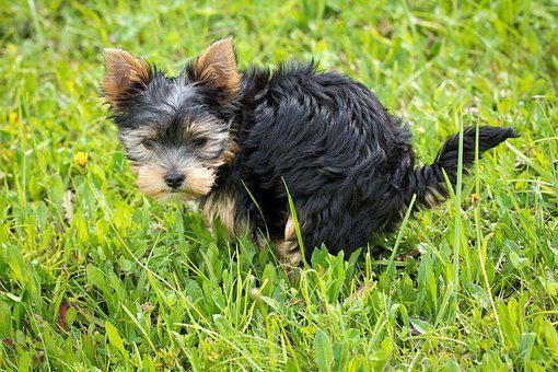 Dog, Puppy, Animal, Pet, Small Dog, Mammal, Breed-dog