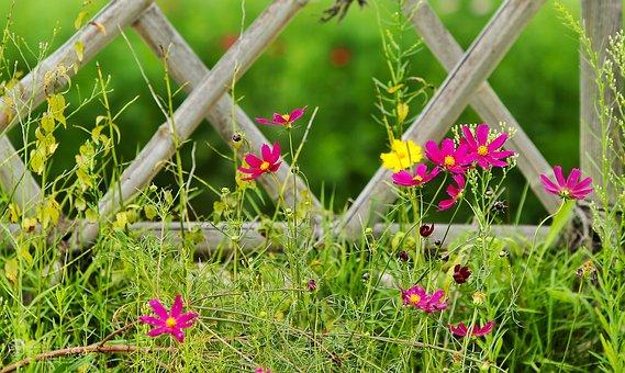 Taehwa, Cosmos, Flowers, Spring, Brin, Fence
