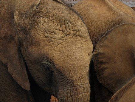 Elephant, Baby, Pachyderm, Mammal, Calf, Kenya, Fauna