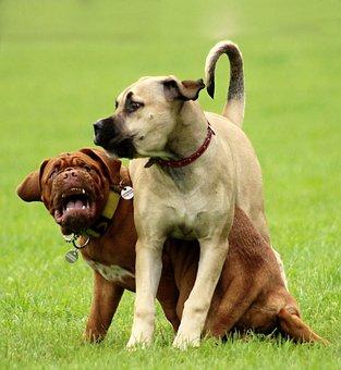 Dog, Bordeaux, Dogue, French, Mastiff, White, Rare