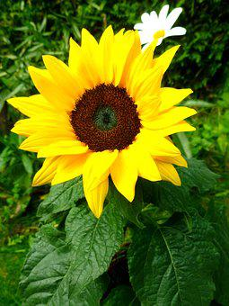 Sun Flower, Marguerite, Flowers, Late Summer, Garden