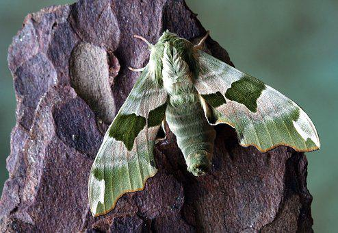 Moth, Hawkmoth, Wildlife, Sphingidae, Wings, Hawk-moths