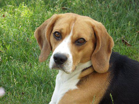 Dog, Hd Wallpaper, Beagle