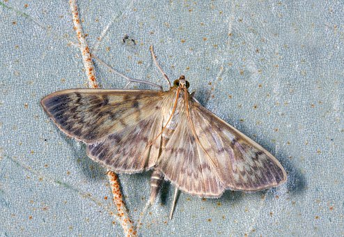Moth, Macro, Insect, Lepidoptera, Invertebrate, Striped