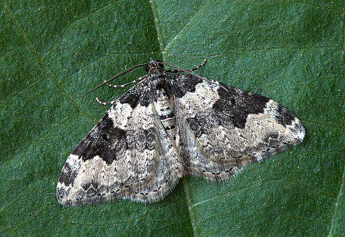 Moth, Macro, Insect, Lepidoptera, Leaf, Invertebrate