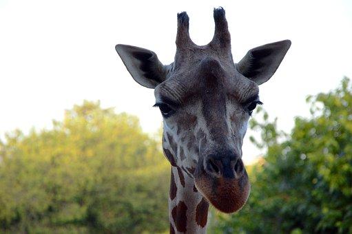 Giraffe, Head, Zoo, Animal, Nature, Giraffes, Safari