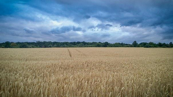 Field, Wheat, Scene, Nature, Landscape, Earth, Wild