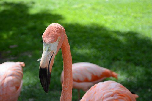 Flamingo, Rosa, Nature, Zoo, Madrid, Bird