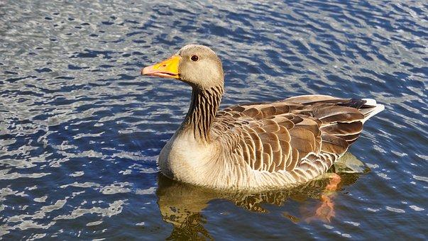 Greylag Goose, Hamburg, Alster, Nature, Eppendorf