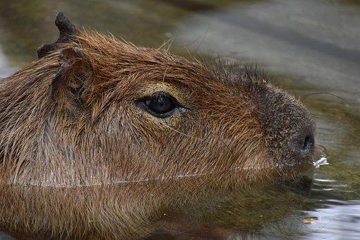 Capibara, Rat, Animal, Zoo, Big