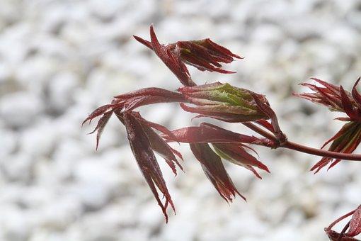 Japanischer Ahorn, Acer Palmatum, Opening Foliage