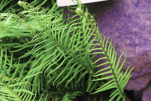 Phoenix Tail Fern, Fern, Plant, Green, Natural, Park