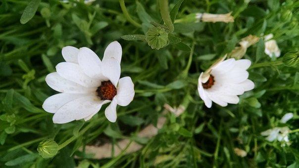 White Flower, Rose, Roses, White
