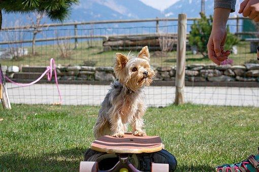 Dog, Small, Garden, Yorkie, Yorkshire Terrier, Training