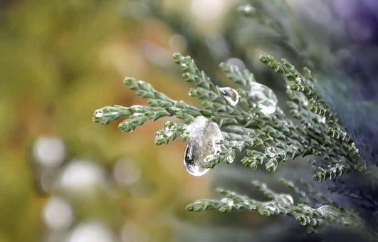 Sprig, Branch, Nature, Plant, Tree, Thuja, A Drop Of