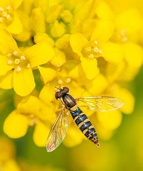 Pestřenka, Yellow, Flower, Insect, Wings