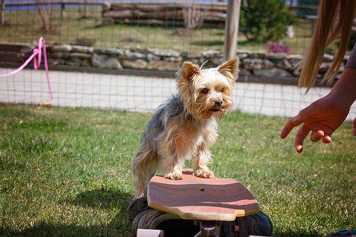 Dog Training, Dog, Animal, Pet, Yorkie