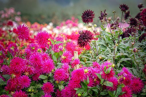 Dahlia, Flower, Blossom, Bloom, Garden, Nature