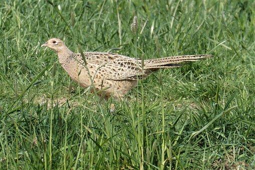 Pheasant, Female, Fazanthen, Bird, Meadow, Grassland