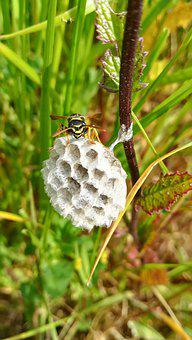 Nest, Wasp, Insects, Wasp Polistes, Grass