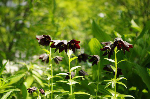 Lily, Black, Flower, Kamcatka Fritillary