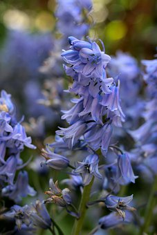 Hyacinthoides Hispanica, The Spanish Hyacinth, Blue