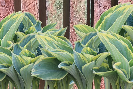 Plantain Lily, Hosta, Leaf, Leaves