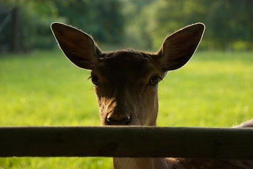 Deer, Antelope, Light, Magic-hour, Sunset, Rim