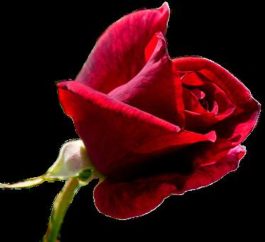 Rose, Red Rose, Flower, Blossom, Bloom, Single Rose