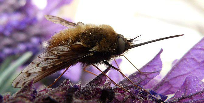 Bombyliidae, Parasite, Insect, Fly