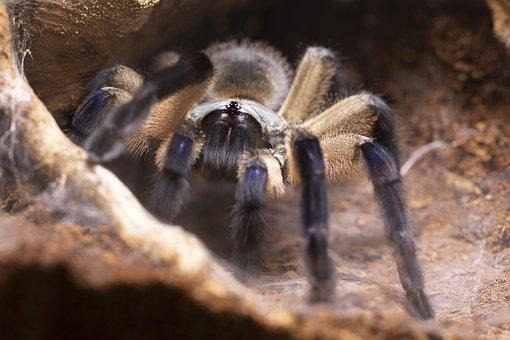 Monocentropus, Balfouri, Tarantula, Spider