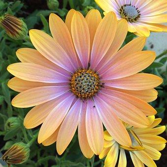 Flowers, San Isidro, San Jordi, Colorful, Yellow