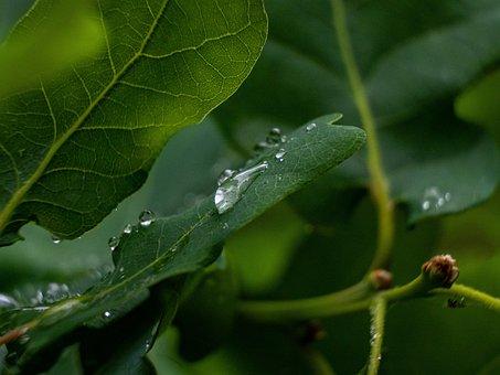 Sheet, Tree, Water, Drop, Green