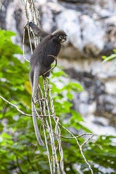 Dusky Leaf Monkey, Trachypithecus Obscurus, Animal