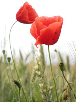 Poppies, Flowers, Nature, Field, Meadow, Red, Summer