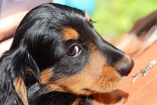 Eyes, Puppy, Long Haired Miniature Dachshund