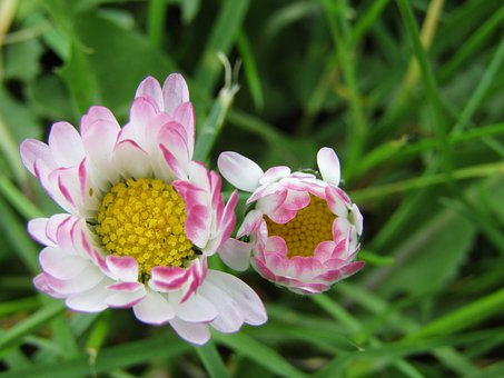 Daisy, Flowers, White, Marie Bluemchen, Plant, Bellis