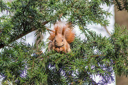 The Squirrel, Ruda, Park, Tree, Eating, Mammal, Animal