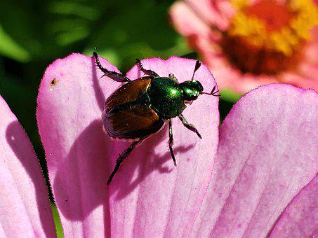 Beetle, Japanese, Colorful, Destructive