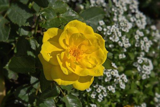Flower, Yellow, Rose, Garden, Summer, Blossom, Bloom