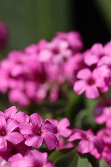 Oxalis, Pink-sorrel, Flowers, Pink, Plant, Flora