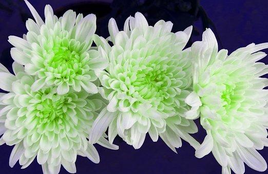 Chrysanthemum, Common Zinnia, Flowers, Chamanti Flowers