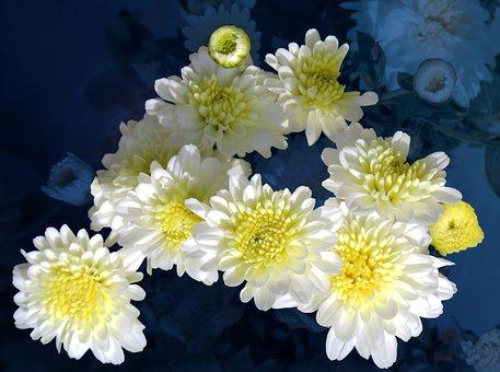 Chrysanthemum, Common Zinnia, White Flowers, Flowers
