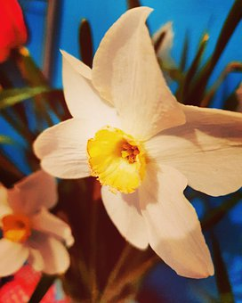 Narcissus, White, Yellow, Red, Turquoise, Background