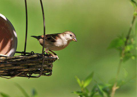 Sparrow, Songbird, Bird, Sperling, Animal, Garden